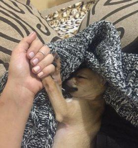 Чихуахуа , щенок, собака , пёс,