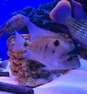 Аквариумная рыба Цыхлазома пара