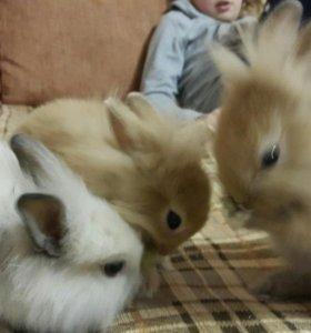 Кролики декоротивные