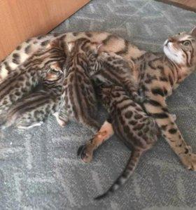 Бенгальские, домашние котята