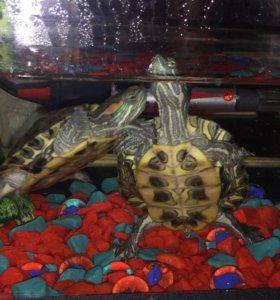 Аквариум с черепашками Майкл и Дженифер.