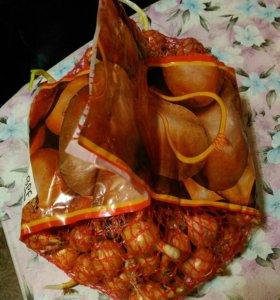 Продам мешок 1.5 кг лук-севок