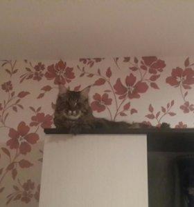 Вязка . Красивый пародистый кот