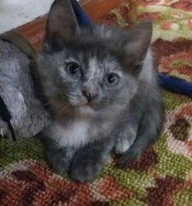 Котенок. Девочка 2 месяца