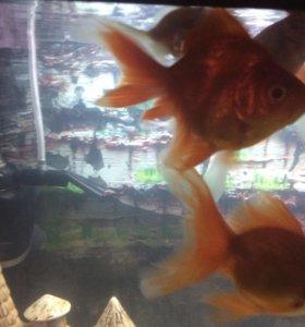 Аквариумные рыбки (золотые)