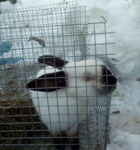 Колифорнийские крольчата