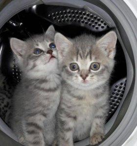 Продам шотландских котят(срочно !!!)