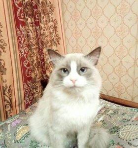 Невский маскарадный красавец на вязку