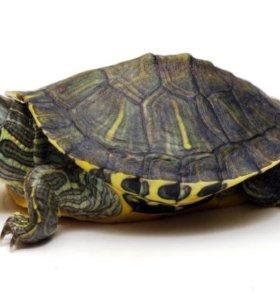 Черепаха красноухая (Pseudemys scripta elegans)