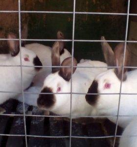 Крольчата калифорнии.