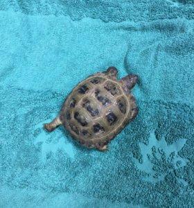 Продаю сухопутную черепаху