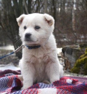 Собаки и щенки породы Стаффордширский терьер  купить из