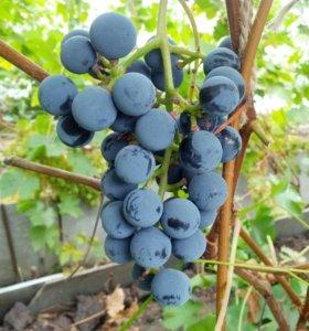 Саженцы винограда Зилга в Тюмени