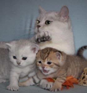 Британские котята серебро и золото