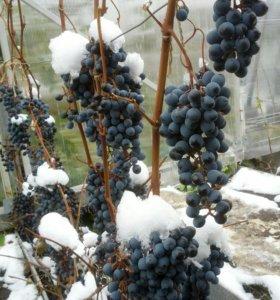 Саженцы винограда Мариновский в Тюмени