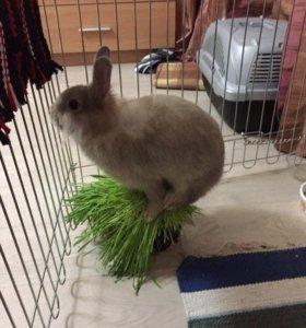 Декоротивный кролик  вязка
