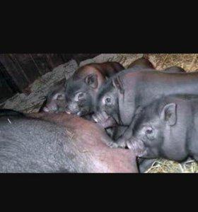 Продам Вьетнамский свиней