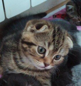 Шотландский котик Скоттиш-фолд