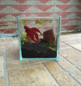 Готовый аквариум с рыбкой петушок