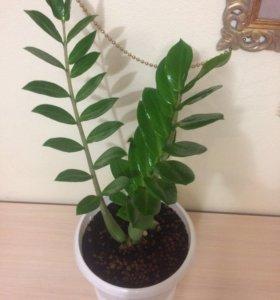 Зальмиокулькас (растение).