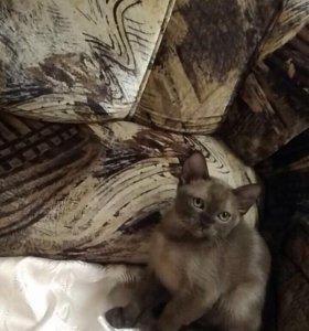 Продам котяток породы бурма