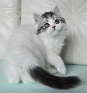 Кот хайленд страйт