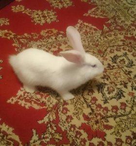 Кролик калифорниски