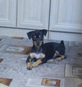 щенок той-терьера, 4 месяца, девочка