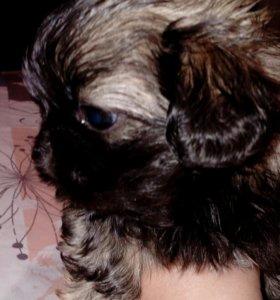 Продается щенок пекинеса ( девочка )