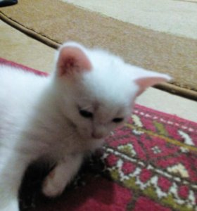 Котенок беленький