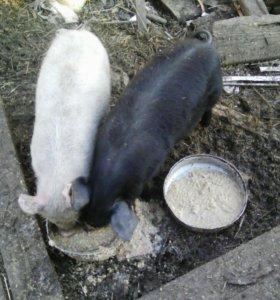 Кабанчик 2,5 мес черный