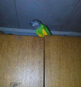 Продам синегальского папугая