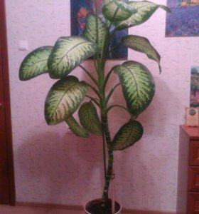 Комнатное растение Диффенбахия.