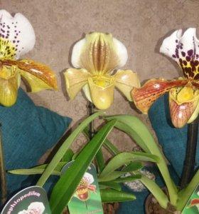 Орхидея Пафиопедилум ( Венерин Башмачок)