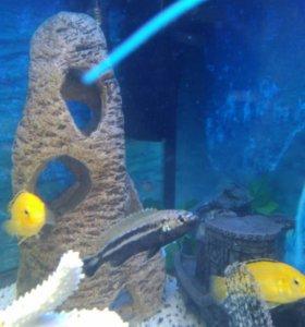 Рыбки ауратосы