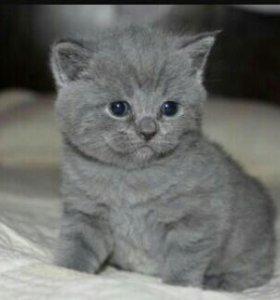 Котёнок голубого британца