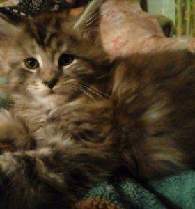 Котята Мейн -кун