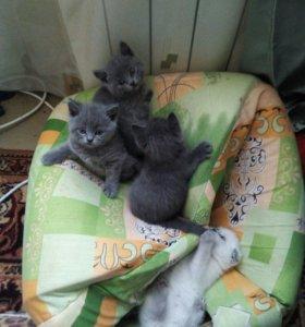 Шотландкие котята