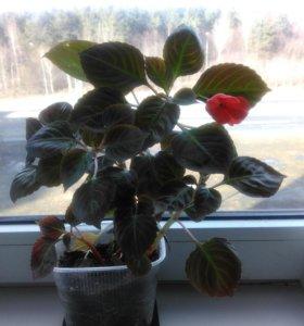 растение Бальзамин