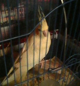 Попугай  порода карелла,говарящий