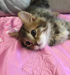 Смесь бенгальской кошки и сибирского кота
