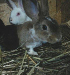 Кролики породы плюшевый рекс