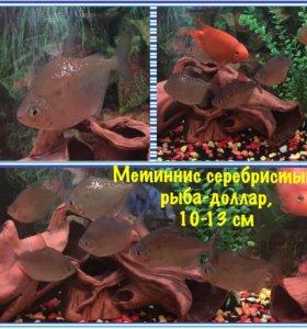 Метиннис серебристый, рыба-доллар