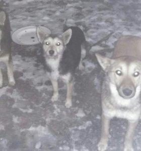 Собачки охранники в добрые руки