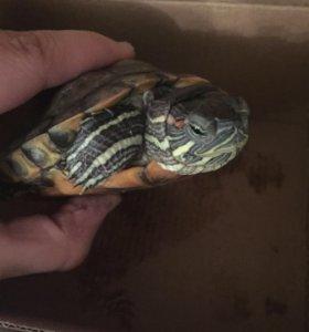 Черепаха бесплатно СРОЧНО