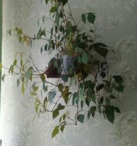Цветок березка