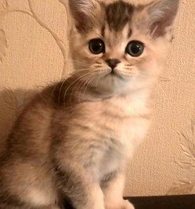 Продается шотландский котёнок (д