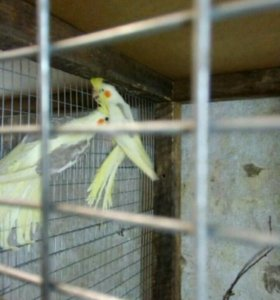 Птенцы попугая кореллы.