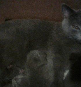 Продам британских голубых чистокровных котят