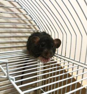 Крысята Дамбо Корниш-рекс